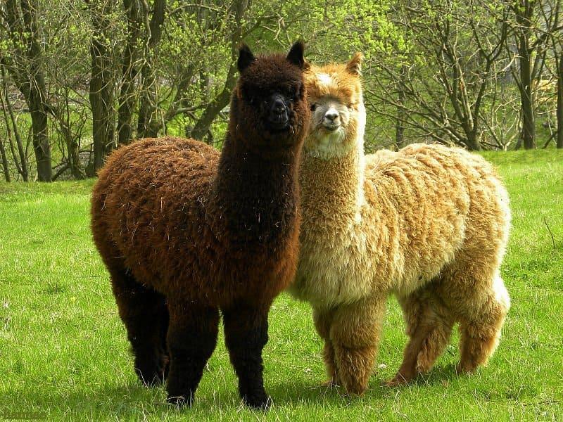 Что это за животное альпака? Чем отличается альпака от ламы (8 фото)?
